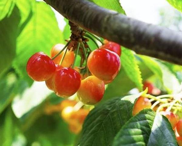 大樱桃种植基地