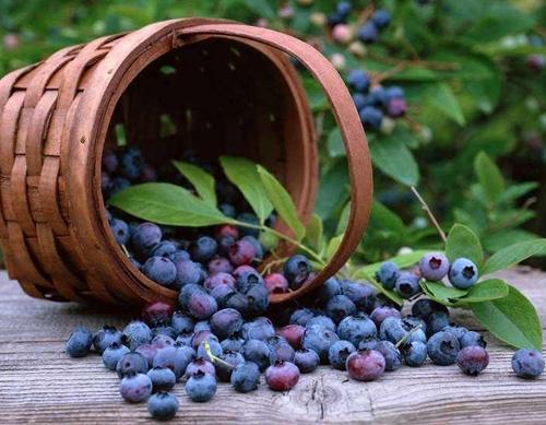 蓝莓种植基地